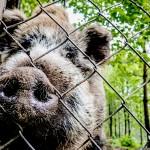 Dziki coraz większym problemem mieszkańców Olsztyna. Radni chcą interweniować u ministra środowiska