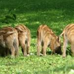 Elbląscy leśnicy policzyli dziki