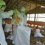 Pomoc dla hodowców drobiu dotkniętych ptasią grypą