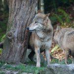 Wilczy spacer w oku kamery – FILM. Leśnicy szacują, że w lasach Warmii i Mazur żyje 140 drapieżników