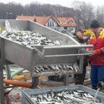 """Rybacy rozpoczęli """"śledziowe żniwa"""" na Zalewie Wiślanym. Czeka nas """"Święto śledzia"""""""