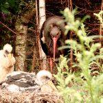 Ornitolodzy z Warmii, Mazur i Podlasia będą ratować znajdujące się pod ochroną ptaki m.in. orlika krzykliwego, bielika i bociana czarnego