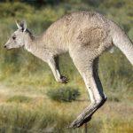 Pod Olsztynem widziano kangura! Sprawdziliśmy czy to prawda
