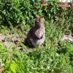 Schwytano kangura, który uciekł z mini zoo w Nikielkowie. Od wczesnej wiosny żył na wolności