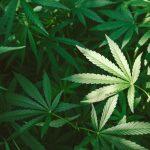 Policja zlikwidowała plantację marihuany. 27-latek może trafić na 3 lata do więzienia