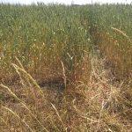 Uprawy we wszystkich 116 gminach Warmii i Mazur są zagrożone klęską żywiołową. PSL apeluje do rządu o pomoc rolnikom