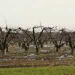 Ceny owoców pójdą w górę? 70 procent sadów ucierpiało przez wiosenne przymrozki