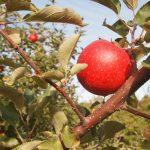 Kompletnie pijany 60-latek jechał do sadu po jabłka