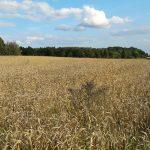 Na Warmii i Mazurach kończą się żniwa. Zebrano ponad 90 procent upraw