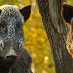 Specjalna bariera zapobiegnie migracji dzików. To sposób na  walkę z afrykańskim pomorem świń