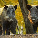 Jastrzębie, dziki, a nawet łosie i sarny. W miastach pojawia się coraz więcej dzikich zwierząt