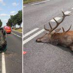 Dzikie zwierzęta przyczyną coraz większej liczby wypadków drogowych