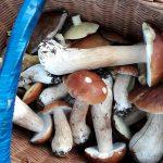 Sezon grzybowy w pełni, niestety są już pierwsze przypadki zatruć
