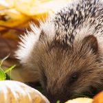 Przesadne pozbywanie się liści szkodzi przyrodzie i jeżom