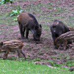 Znaleziono kolejne dziki zarażone ASF.  Sanepid apeluje do rolników o ostrożność