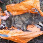 Strażnicy graniczni i ekolodzy uratowali wilka, który wpadł w sidła kłusowników