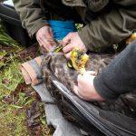 Bielik uratowany przez ornitologów z Bukwałdu znów wpadł  w zastawione wnyki