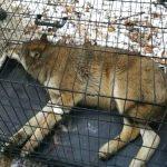 Wilk potrącony przez auto, trafił do ośrodka w Napromku