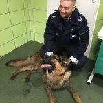 Ranny owczarek niemiecki znaleziony przy drodze w Babiaku jest już w domu