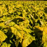 Najwięcej producentów tytoniu na Warmii i Mazurach jest w powiatach ełckim i nowomiejskim