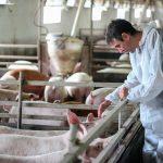 Trwają kontrole gospodarstw w związku z ASF. Rolnicy mogą liczyć na rekompensaty