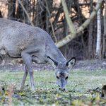 Leśnicy  apelują:  Trzymajcie psy na uwięzi podczas spacerów w lesie