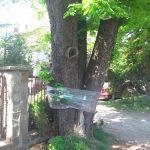 Elbląg ma sposób na ochronę kasztanowców. Miasto stosuje tę metodę od ponad 20 lat