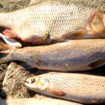 Katastrofa ekologiczna w rzece Dzierzgoń na Żuławach. Wyłowiono 300 kilogramów martwych ryb