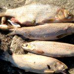 Upał zabija ryby na Warmii i Mazurach. Jeśli temperatura nie spadnie, będą ginąć masowo