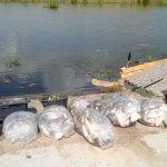 Zakończyło się wyławianie śniętych ryb z rzeki Dzierzgoń