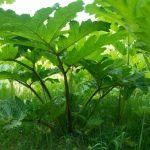 Niebezpieczna roślina w Elblągu. W centrum miasta rośnie barszcz Sosnowskiego