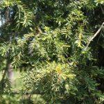 Leśnicy uratowali sędziwe drzewo