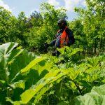 Barszcz Sosnowskiego zostanie wycięty ze 140 hektarów łąk i lasów