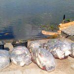 Z rzeki Dzierzgoń wyłowiono 700 kilogramów śniętych ryb