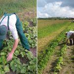 Elbląski Bank Żywności nie będzie miał warzyw z własnego pola. Powód: niesprzyjająca uprawom pogoda