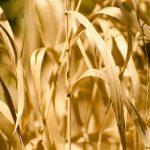 Susza wyrządziła szkody w ponad 90 tysiącach gospodarstw