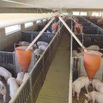 Prawie 9,5 tysiąca świń do likwidacji. Kolejne ognisko ASF wykryto w powiecie kętrzyńskim