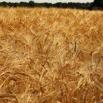 Prawie miliardowe straty w uprawach na Warmii i Mazurach. Od piątku rolnicy mogą składać wnioski o pomoc finansową