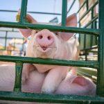 Wirus ASF po raz kolejny zaatakował w regionie. W jednym z gospodarstw hodowano ponad 1700 świń