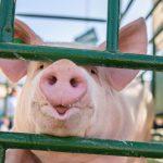 Rolnicy, którzy zrezygnują z chowu świń, mogą starać się o rekompensaty
