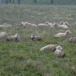 Rolnicy zgłaszają straty w uprawach. Największe szkody powodują bobry i wilki