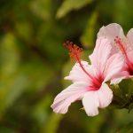Hibiskus – remedium na letnie pragnienie