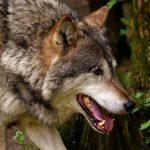 Specjalne ogrodzenia zmniejszą szkody wyrządzane przez bobry i wilki