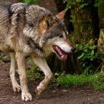 Wilki zaatakowały stado owiec w Bukwałdzie pod Olsztynem