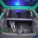Pijany 18-latek próbował uniknąć kontroli drogowej. Okazało się, że wiózł kozę w samochodzie