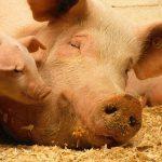 Branża mięsna przeszkoli hodowców trzody pod kątem bioasekuracji
