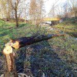 Bobry wyrządzają coraz większe szkody. Zwierzęta pojawiają się nawet w centrum Olsztyna