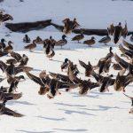 Od rana w Ełku trwa liczenie zimujących w mieście ptaków wodnych. Kolejna taka akcja 25 stycznia