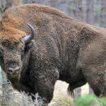 40 żubrów w Puszczy Knyszyńskiej i Boreckiej zostanie odstrzelonych. Sprzeciwiają się ekolodzy i ełccy radni