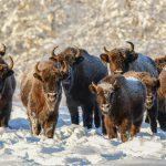 W Puszczy Boreckiej na Mazurach policzono żubry urodzone w ubiegłym roku